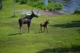 cottage moose visitor