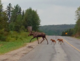 moose and calves 3